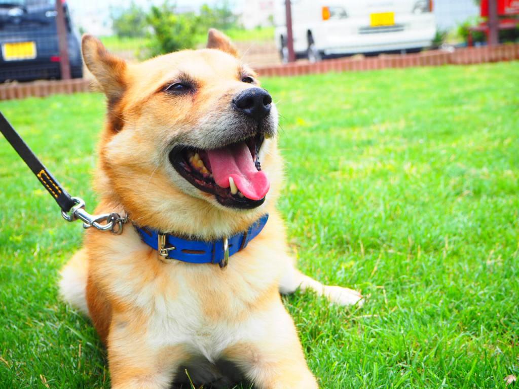 MIX犬9歳 根性よく吠え続ける犬ジョン君!!(預かり訓練)トライアル
